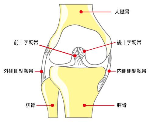 膝・靭帯の部位説明